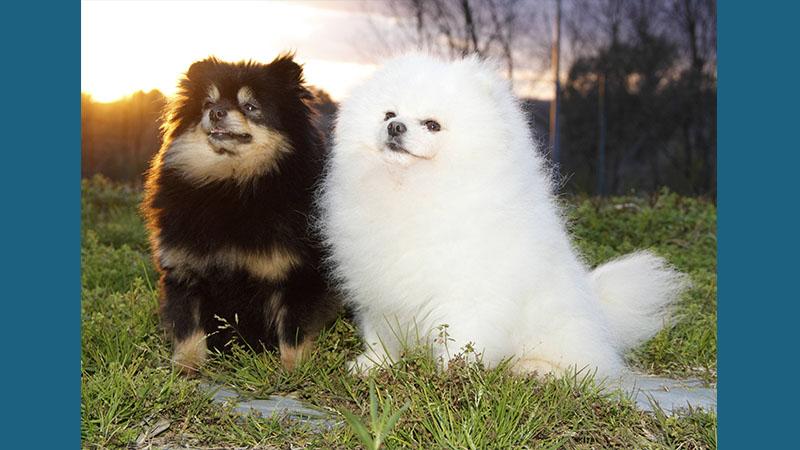 Pomeranian 7