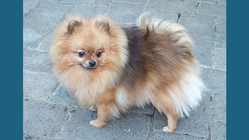 Pomeranian 8