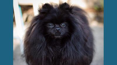 Pomeranian 9