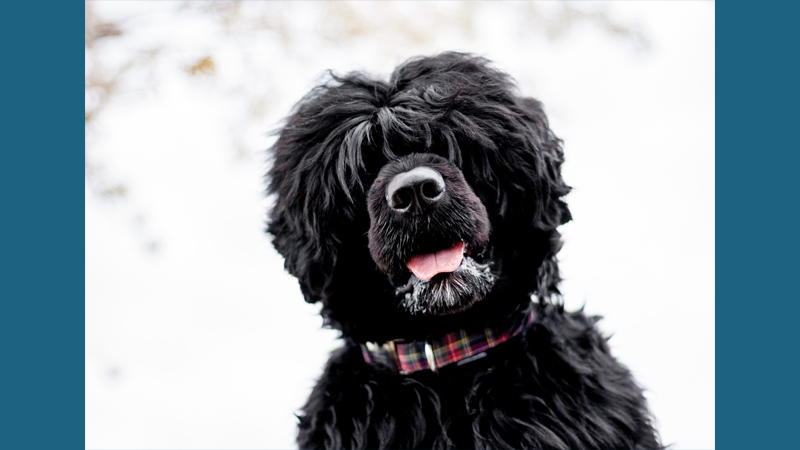 Portuguese Water Dog 1