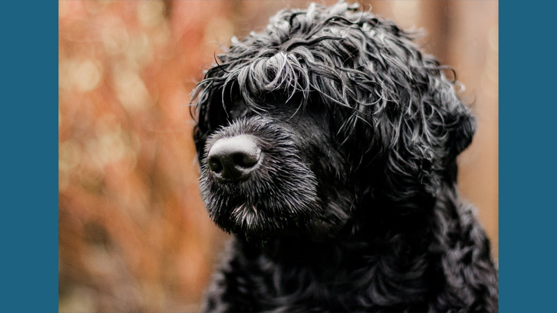 Portuguese Water Dog 11