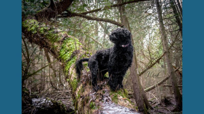 Portuguese Water Dog 12