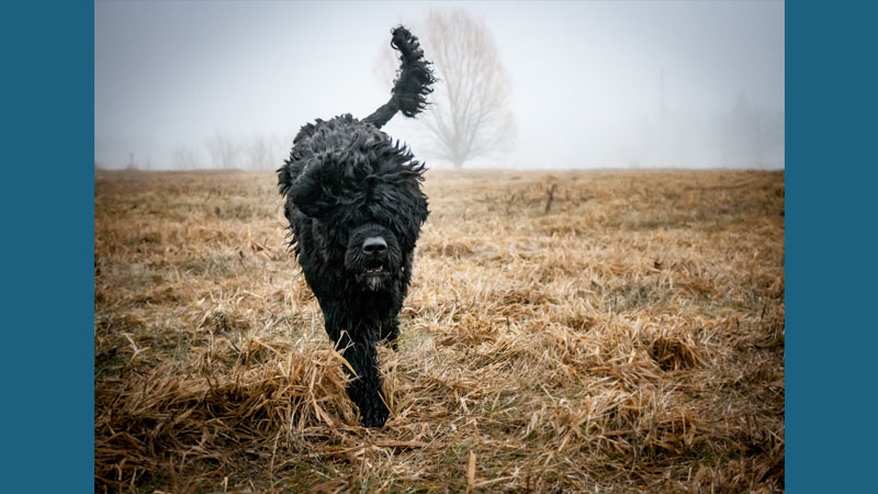 Portuguese Water Dog 13
