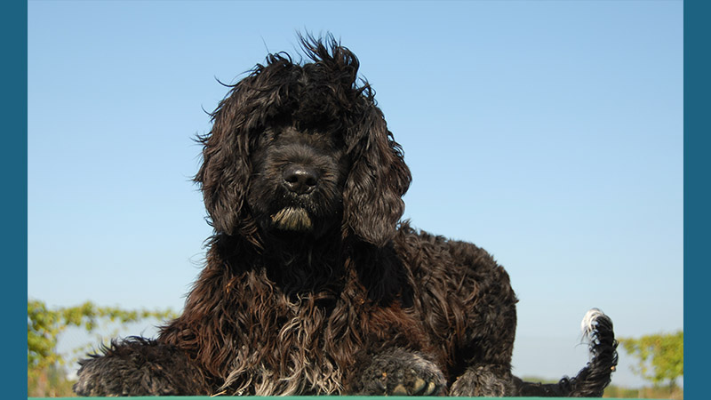 Portuguese Water Dog 14