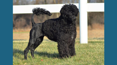 Portuguese Water Dog 15