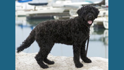 Portuguese Water Dog 3