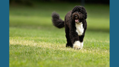 Portuguese Water Dog 4