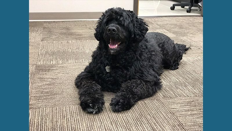 Portuguese Water Dog 5