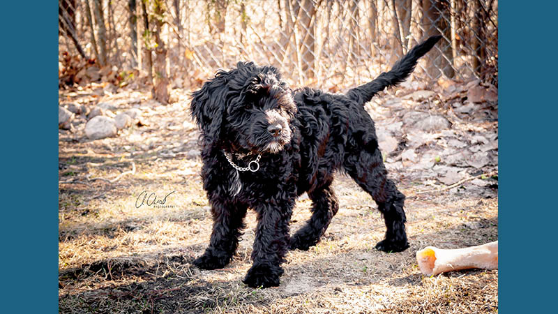 Portuguese Water Dog 6