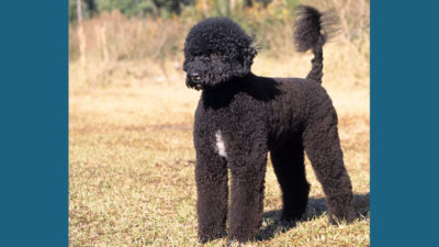 Portuguese Water Dog 7