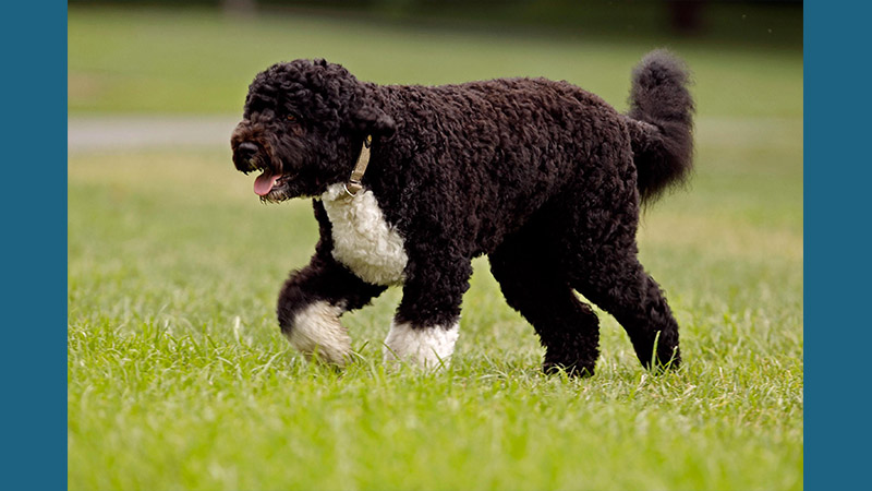 Portuguese Water Dog 8