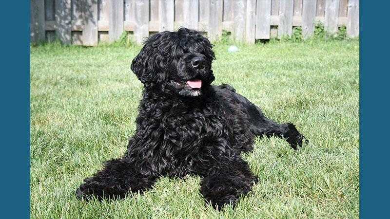 Portuguese Water Dog 9