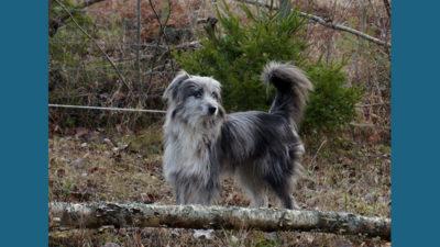 Pyrenean Shepherd 6