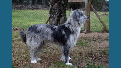 Pyrenean Shepherd 7