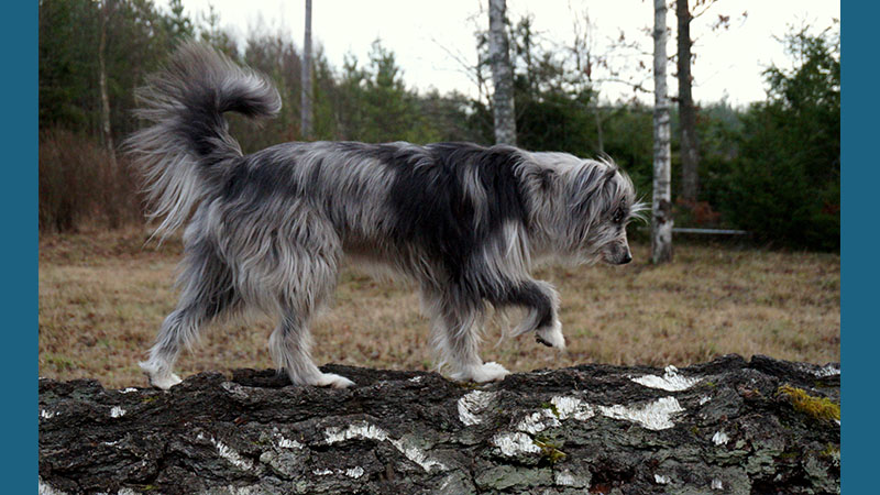 Pyrenean Shepherd 8