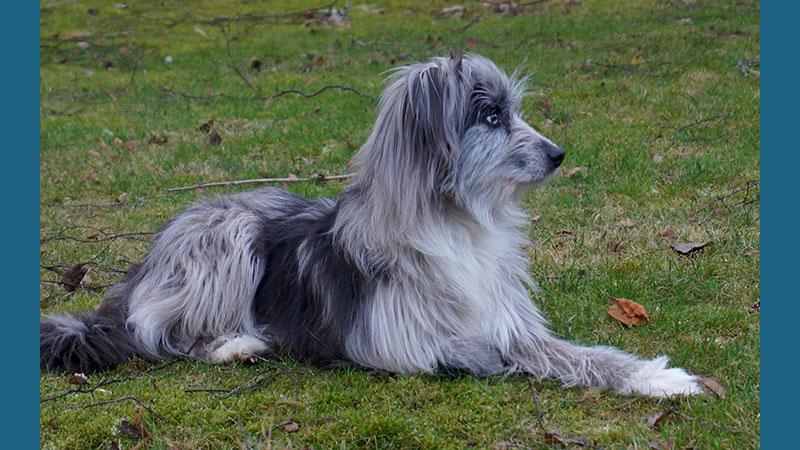 Pyrenean Shepherd 9