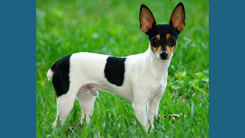 Rat Terrier 3