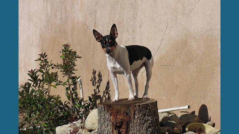 Rat Terrier 7