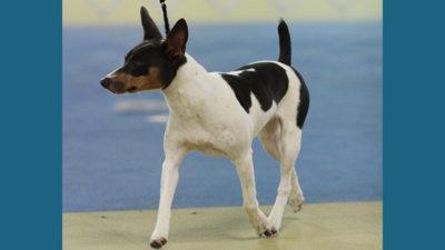 Rat Terrier 8