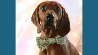 Redbone Coonhound 3