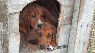 Redbone Coonhound 6