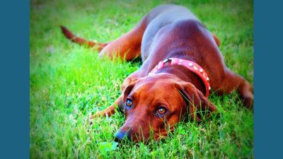 Redbone Coonhound 9