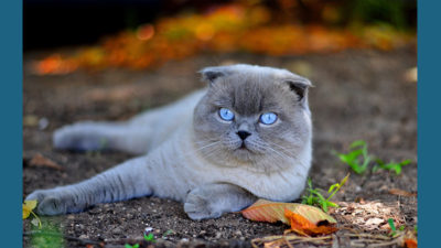Scottish Fold 11