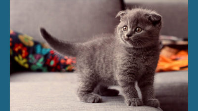 Scottish Fold 12