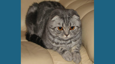Scottish Fold 13