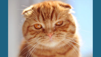 Scottish Fold 14