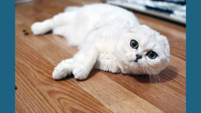 Scottish Fold 15