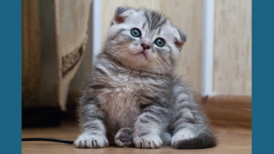 Scottish Fold 2