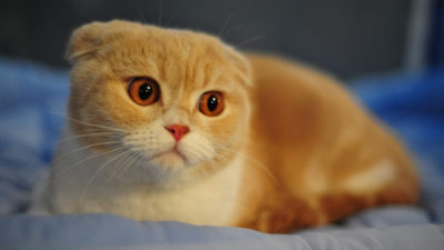 Scottish Fold 3