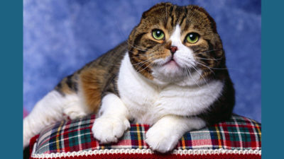 Scottish Fold 4