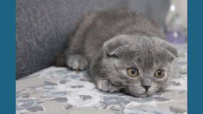 Scottish Fold 5