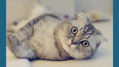Scottish Fold 6
