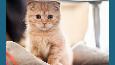Scottish Fold 7