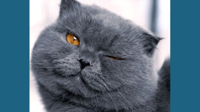 Scottish Fold 8