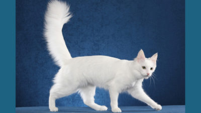 Turkish Angora 1