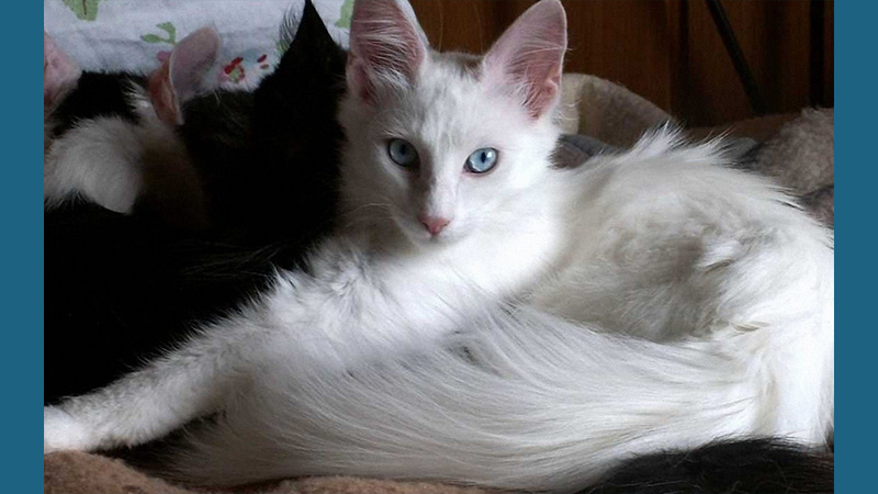Turkish Angora 10
