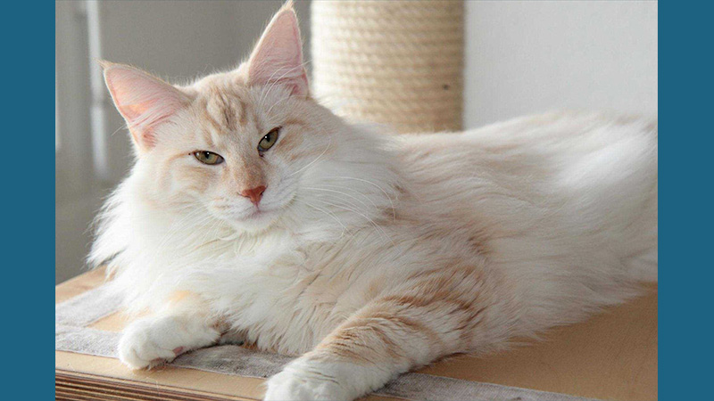 Turkish Angora 2