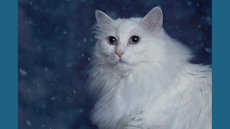 Turkish Angora 3