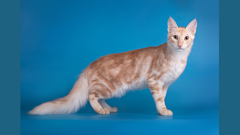 Turkish Angora 4