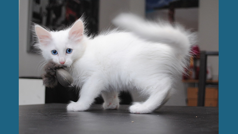 Turkish Angora 5