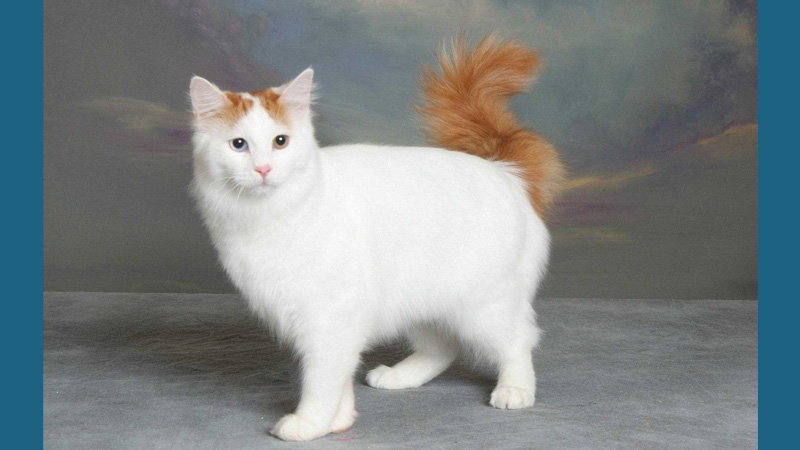 Turkish Angora 8