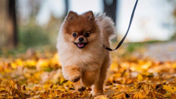 Breeds Pomeranian 1