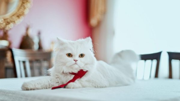 Magazine Breed Cat Persian 1