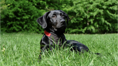 Black Dog 4