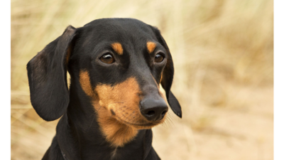 Black and Tan Dog 1