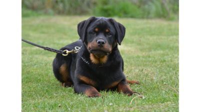 Black and Tan Dog 3